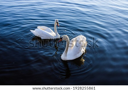 The couple of swans on blue water Royalty-Free Stock Photo #1928255861