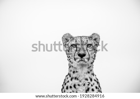 Cheetah Close Up Black and White