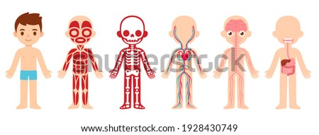 My body, educational anatomy body organ chart for kids. Cute cartoon little boy and his bodily systems: muscular, skeletal, circulatory, nervous and digestive. Isolated infographic clip art.