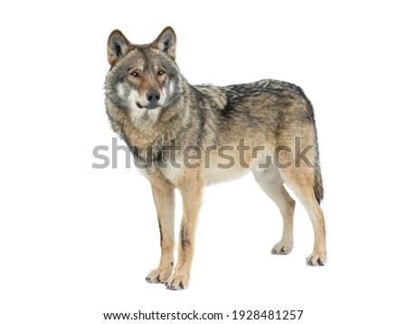 Gray wolf isolated on white background Royalty-Free Stock Photo #1928481257