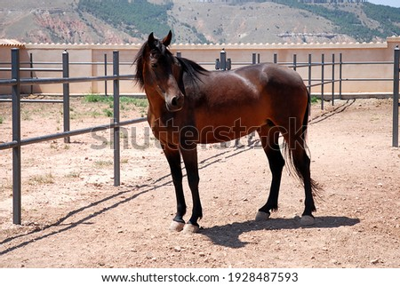A purebred Spanish brown horse with black hair in her equestrian enclosure Royalty-Free Stock Photo #1928487593
