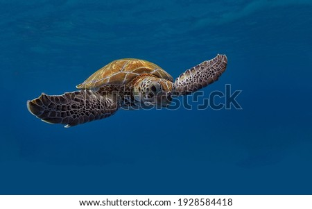 A magnificent giant golden sea turtle spreads its paws and swims in the blue depths of the sea Royalty-Free Stock Photo #1928584418