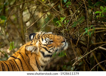Wild royal bengal tiger closeup or portrait in natural green background in terai region forest at dhikala zone of jim corbett national park or tiger reserve uttarakhand india - panthera tigris tigris Royalty-Free Stock Photo #1928611379