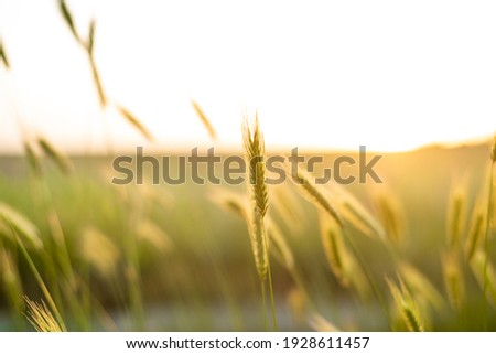 Beautiful nature background, a field with herbs, green spikelets in the sun. Delicate screensaver for phone, desktop, poster on the wall. Soft focus