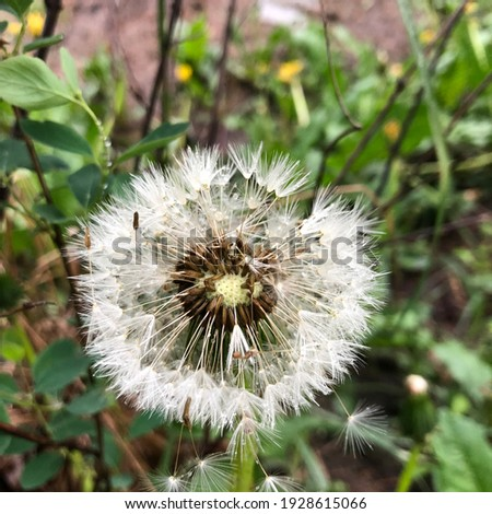 Macro photo white dandelion. Stock photo white nature plant dandelion