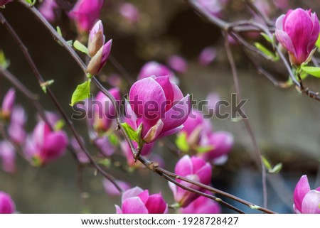 Beautiful pink Magnolia soulangeana flowers on a tree. In the spring garden, Magnolia blooms. Blooming Magnolia, Tulip Tree. Magnolia soulangeana close-up, spring background.