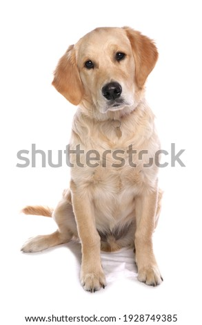 Golden Retriever Dog isolated on a white background Royalty-Free Stock Photo #1928749385