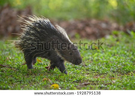 Himalayan porcupine or  Large porcupine in the wild