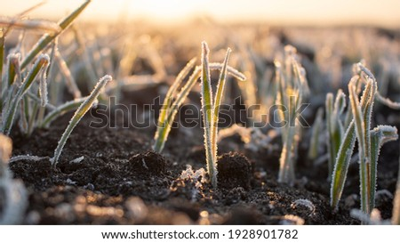 Frosty frost in spring in the fields with winter wheat. Severe frost damages crops in the spring. Royalty-Free Stock Photo #1928901782