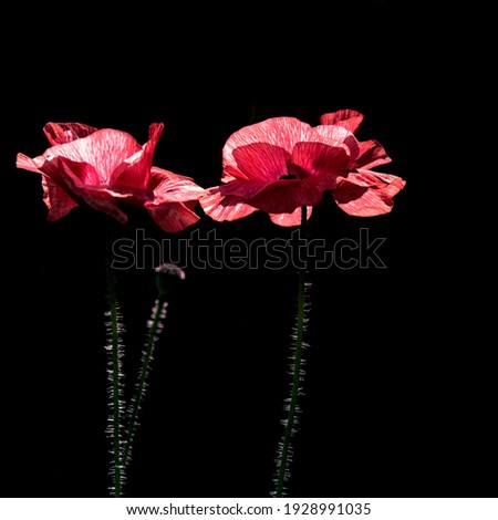 There are two beautiful flowers on a black background.Pink poppy. Bee paradise in poppy petals.Poppy petals glow in the sun.