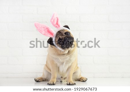 Happy  smiling  pog  dog with bunny ears  on white background .   Easter concept . Royalty-Free Stock Photo #1929067673