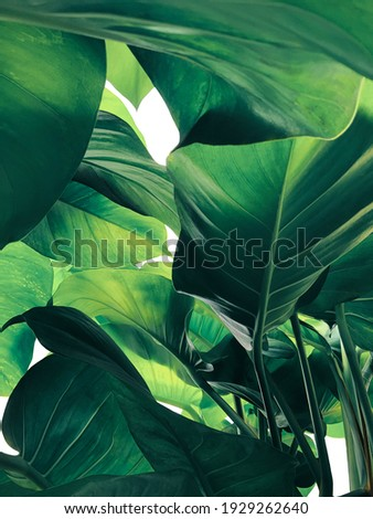 Abstract tropical green leaves pattern on white background, lush foliage of giant golden pothos or Devil's ivy (Epipremnum aureum) the tropic plant. Royalty-Free Stock Photo #1929262640