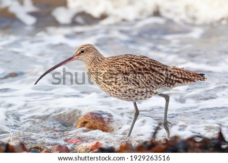 the largest wading bird in the Uk,  the  curlew on the seashore in the northern of Scotland. The bird was feeding on the seashore at high tide Royalty-Free Stock Photo #1929263516