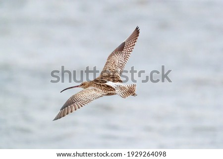 the largest wading bird in the Uk,  the  curlew in flight on the seashore in the northern of Scotland Royalty-Free Stock Photo #1929264098