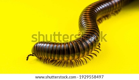 Close Up Photo Of Invertebrates. Millipede Animal In The Studio On A Yellow Background. Millipedes With A Cylindrical Body And Brownish Color. Royalty-Free Stock Photo #1929558497