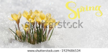 Hello spring, greeting card with primroses - yellow crocuses. Flowers under the snow on a sunny day, a template for a screensaver.