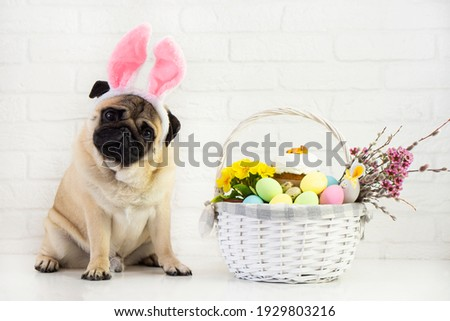 Happy  easter  pog  dog with bunny ears  on white background  with easter basket  ,colorful egg and flower .   Easter  card  concept .