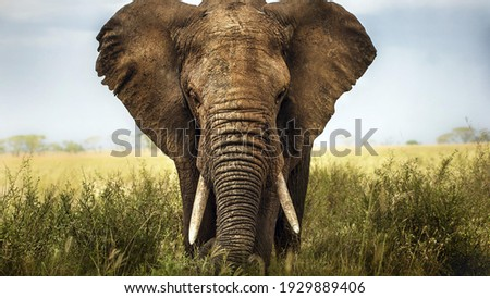 elephant in the wild in Afria Royalty-Free Stock Photo #1929889406