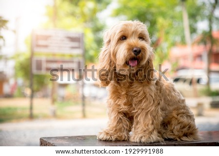 Cute Cockapoo dog sit on table. Puppy Cockapoo or adorable cockerpoo is mixed breeding animal (brown fur Cocker Spaniel + Poodle) funny hairy canine training with owner. Cocker spaniel in garden