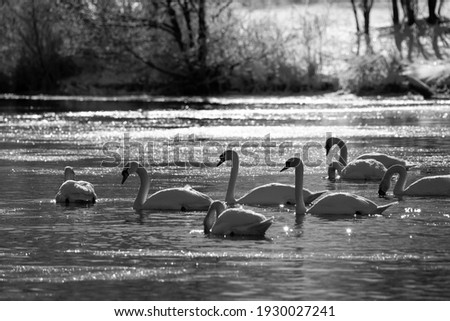 Flock of swans (Cygnus olor), a species of swan and a member of the waterfowl family Anatidae. Gliding birds on the surface of frozen river Ruhr Sauerland Germany on a cold winters day, greyscale pic.