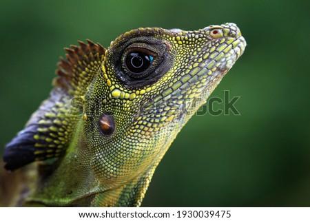 Great angle head lizard closep head,  Indonesian reptile Royalty-Free Stock Photo #1930039475