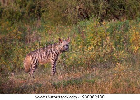 Striped hyena in Samburu, Kenya, Africa