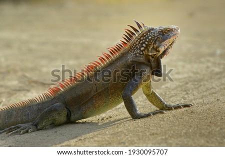 Green Iguana (Iguana iguana) or Common Iguana, Peter Island, British Virgin Islands Royalty-Free Stock Photo #1930095707