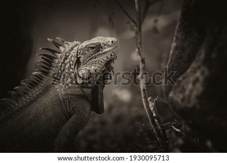 Green Iguana (Iguana iguana) or Common Iguana, Peter Island, British Virgin Islands Royalty-Free Stock Photo #1930095713