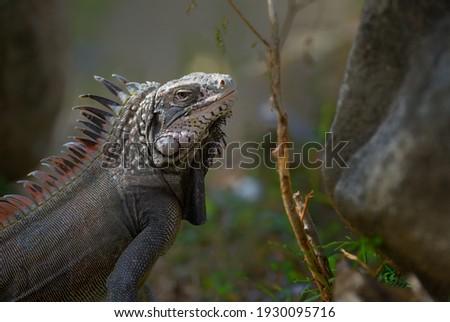 Green Iguana (Iguana iguana) or Common Iguana, Peter Island, British Virgin Islands Royalty-Free Stock Photo #1930095716