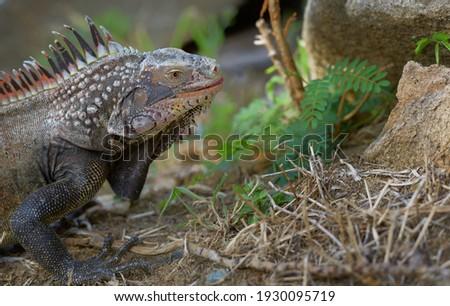 Green Iguana (Iguana iguana) or Common Iguana, Peter Island, British Virgin Islands Royalty-Free Stock Photo #1930095719