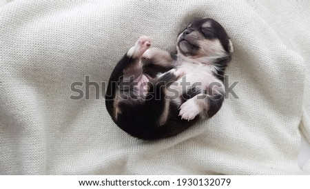 a newborn Chihuahua puppy sleeps on a fluffy white blanket. the dog is black and white in color. cute picture of a puppy.