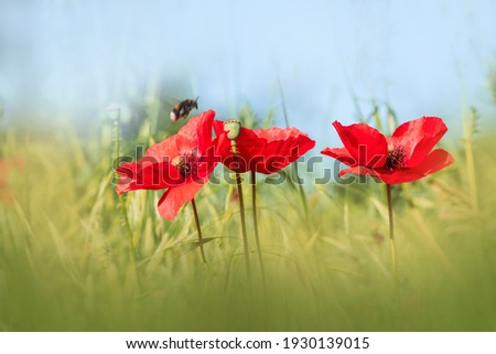 Poppy flowers. Spring-summer banner with three poppies and bumblebee flying over. Wild meadow poppies against green grass and blue sky.