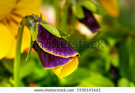 Viola tricolor, field flower, wild pansy,with yellow and purple petals,miniature pansy