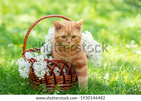 Beautiful spring portrait of a red kitten in a basket with white lilac flowers. The basket is on the grass Royalty-Free Stock Photo #1930146482