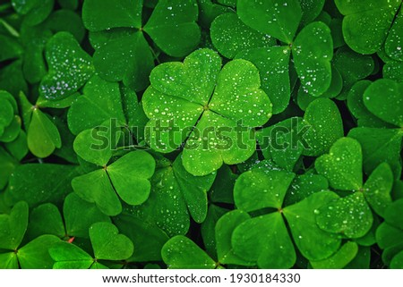 Four-leaf clover stands out against green leaves