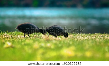 European coots (Fulica atra) nibble young grass on river Bank on a spring day. Herbivorous bird for short time Royalty-Free Stock Photo #1930327982