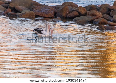 Pelicans and a cormorant in the early morning sunrise light flecked with gold at Avoca Beach on the Central Coast of NSW, Australia. Royalty-Free Stock Photo #1930341494