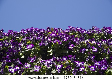 These are the pansies in bloom against the blue sky.