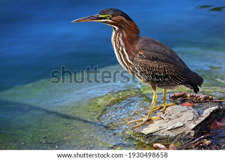 A juvenile green heron in search of a meal. Royalty-Free Stock Photo #1930498658
