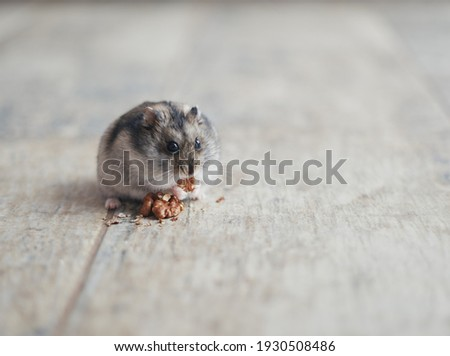 The gray Dzungarian hamster holds a walnut in its paws and eats it. Dwarf hamster.