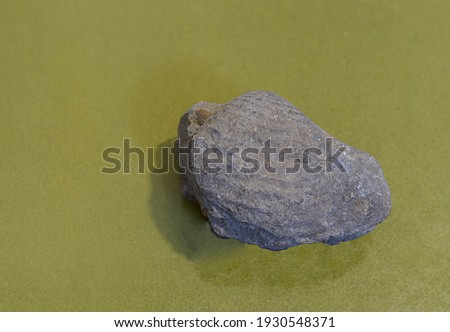 Fossil of a bivalve mollusk in the Cretaceous sandstone close-up. Royalty-Free Stock Photo #1930548371