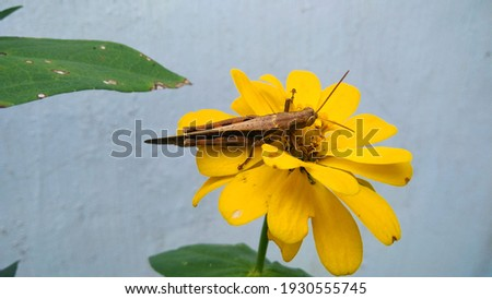 Single grasshopper animal on flower, close up picture.