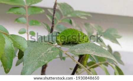 picture of larvae captured while it climbing a curry plant's branch.