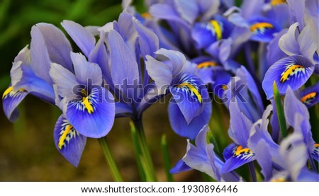 mini blue Iris flower, macro