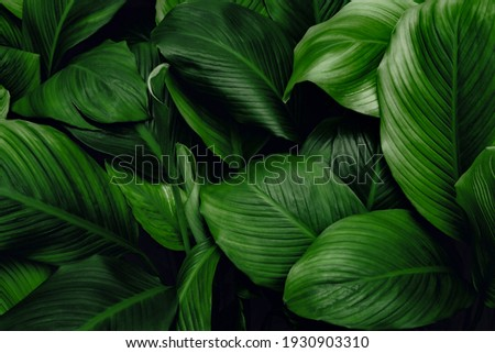 leaves of Spathiphyllum cannifolium, abstract green dark texture, nature background, tropical leaf
