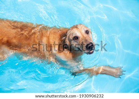 A dog swimming happily and joyfully. Golden Retriever. Happy puppy playing in the water. Royalty-Free Stock Photo #1930906232