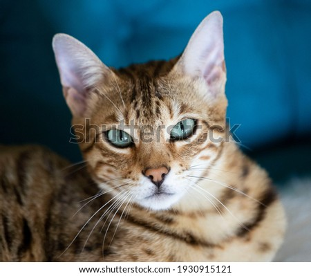 Portrait of a bengal kitten cat, cat looking at camera. Cat with amazing  eyes. close up Royalty-Free Stock Photo #1930915121