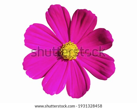 Pink cosmos flower isolated on white background. Cosmos flower is an ornamental plant that is native to Central America. Is a short-lived flowering plant like cool weather. Royalty-Free Stock Photo #1931328458