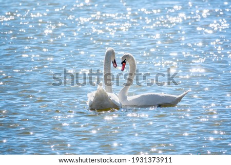 Two Graceful white Swans swimming in the lake, swans in the wild. The mute swan, latin name Cygnus olor. Royalty-Free Stock Photo #1931373911