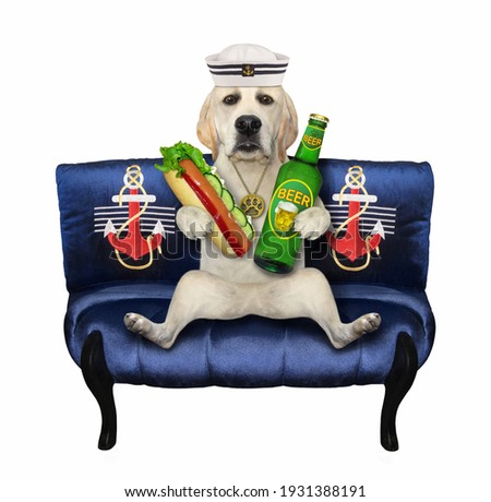 A dog labrador sailor on a blue divan eats a hot dogand drinks beer. White background. Isolated.